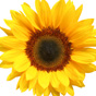 Thriving Icon: Sunflower